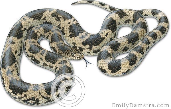 Northern pine snake Pituophis melanoleucus illustration