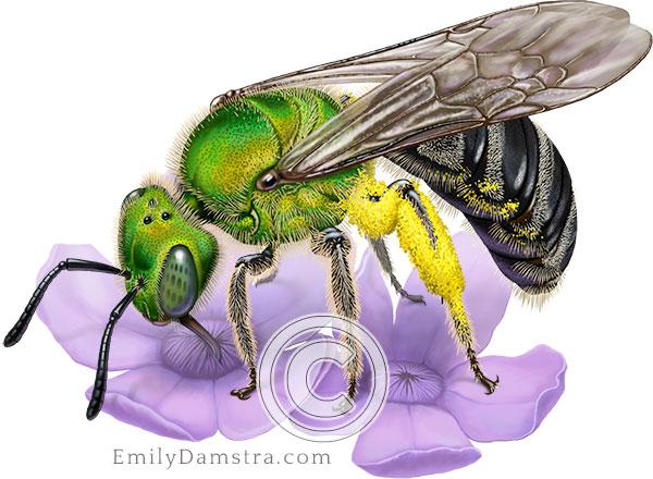IllustrationBicolored striped sweat bee Blue vervain