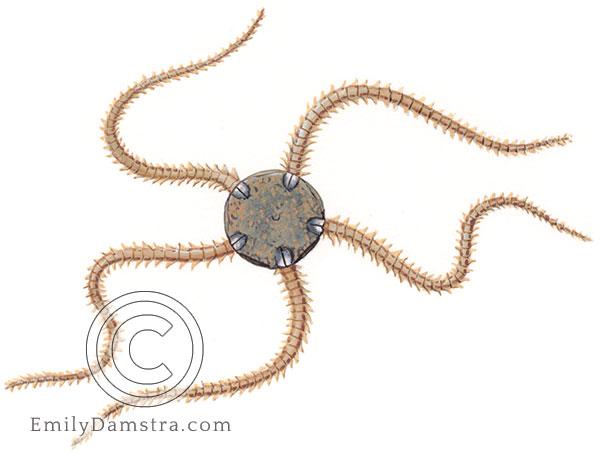 Dwarf brittle star illustration Amphipholis squamata