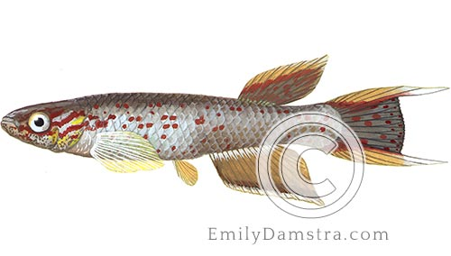 Cape Lopez lyretail panchax fish illustration Aphyosemion australe