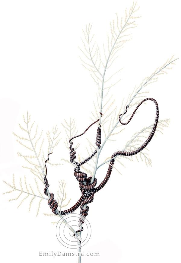 Snake star illustration Astrobrachion constrictum