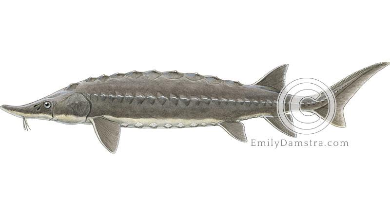 Atlantic sturgeon illustration Acipenser oxyrhinchus