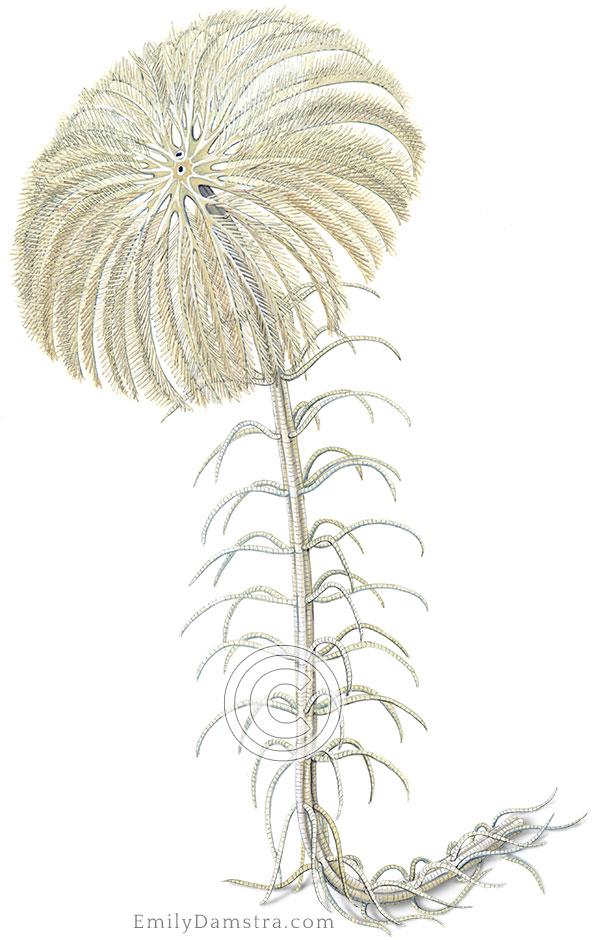 West Indian sea lily illustration Cenocrinus asterius