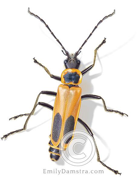 Illustration of Goldenrod soldier beetle (Chauliognathus pensylvanicus)