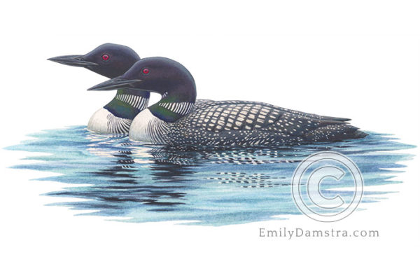 Illustration of a pair of Common loons
