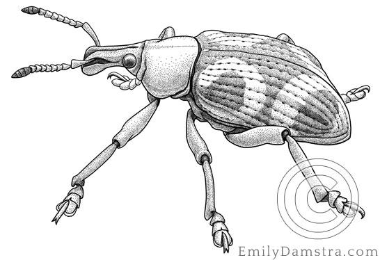 Illustration of Stan Vlasimsky's weevil Eupholus vlasimskii