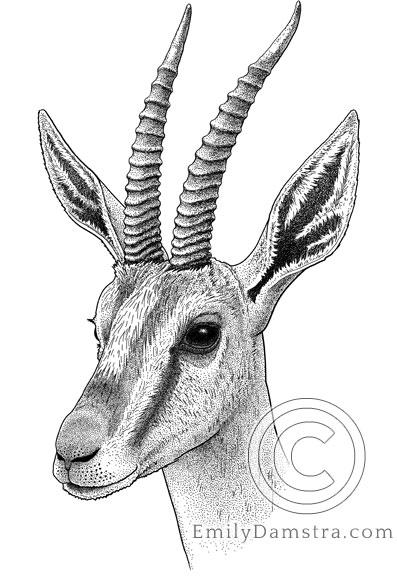 Gazella cuvieri Damstra 1