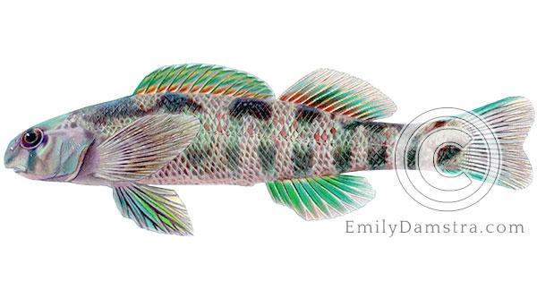 Greenside darter Etheostoma blennioides illustration