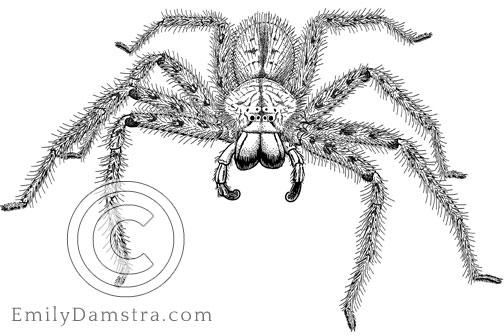 Illustration of David Bowie's spider Heteropoda davidbowie