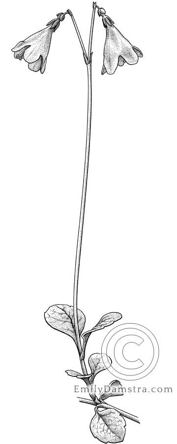 Illustration of Twinflower Linnaea borealis