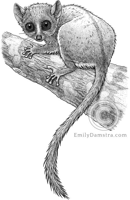 Illustration of Madame Berthe's Mouse Lemur Microcebus berthae