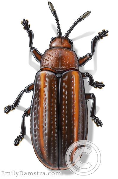 Illustration of an adult Goldenrod leaf miner beetle (Microrhopala vittata)