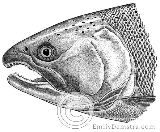 Illustration of a Coho salmon Oncorhynchus kisutch