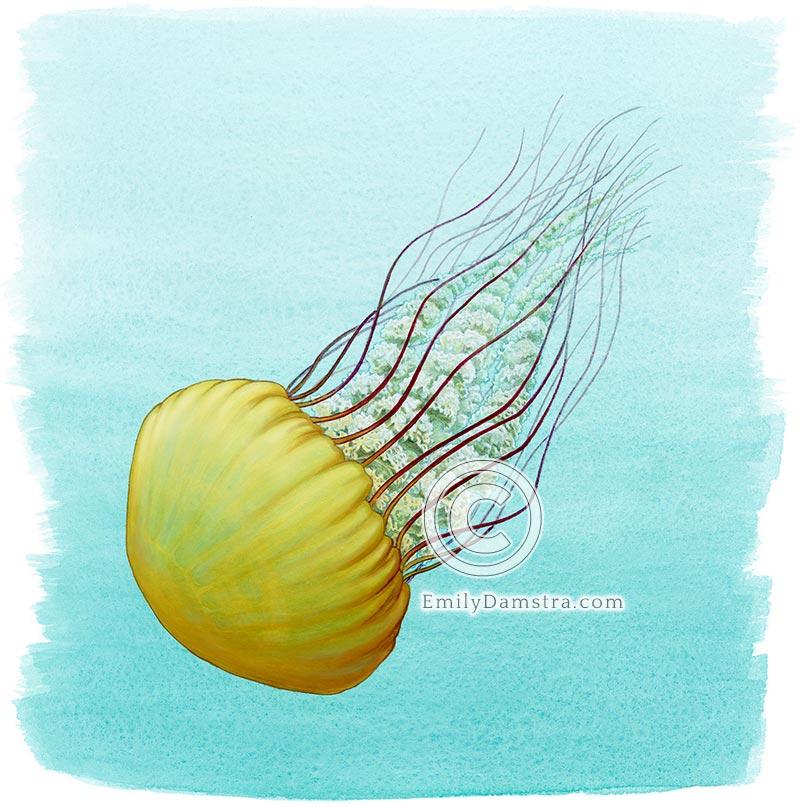 Pacific Sea Nettle illustration Chrysaora fuscescens