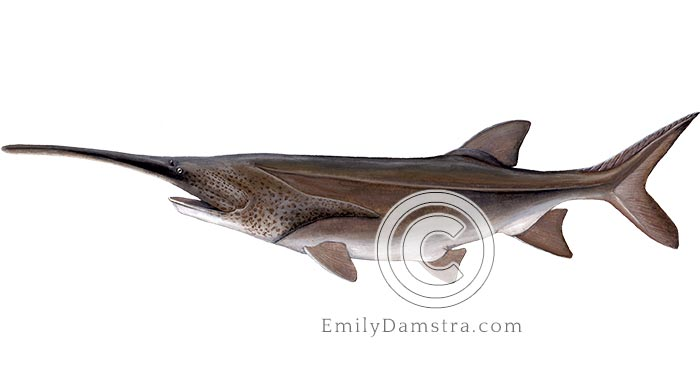 American paddlefish illustration Polyodon spathula