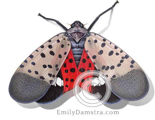 spotted lanternfly illustration adult wings