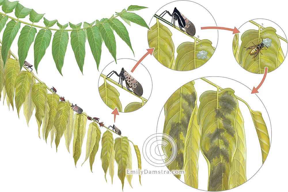 Spotted lanternfly behavior illustration