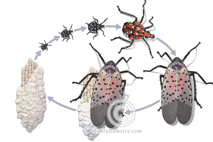 Spotted lanternfly life cycle illustration