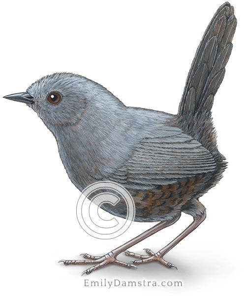 Magdalena tapaculo bird illustration Scytalopus rodriguezi