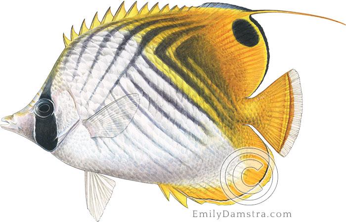 Illustration of Threadfin butterflyfish Chaetodon auriga