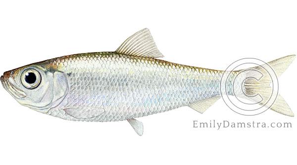 Alewife Alosa pseudoharengus fish illustration