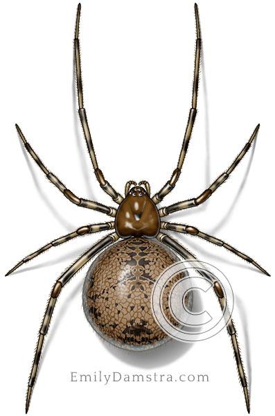 American house spider illustration Achaearanea tepidariorum