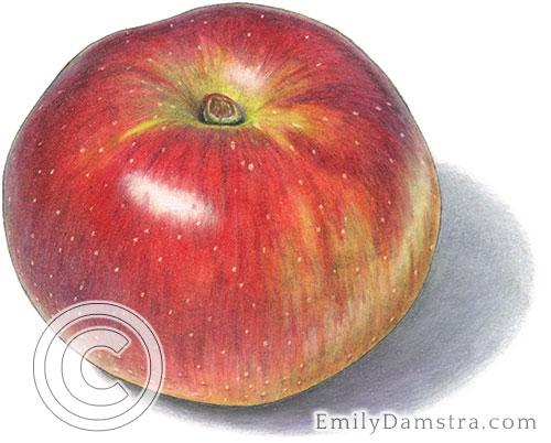 Baldwin apple illustration