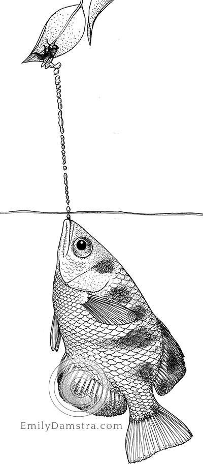 Seven-spot archerfish or Largescale archerfish illustration Toxotes chatareus