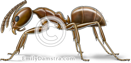 Argentine ant illustration Linepithema humile