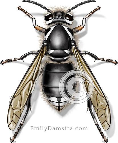 Bald-faced hornet illustration Dolichovespula maculata