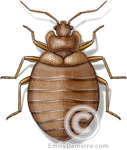 Bed bug illustration Cimex lectularius
