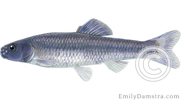 Bluntnose minnow Pimephales notatus illustration