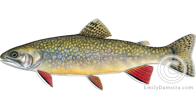 brook trout Salvelinus fontinalis illustration