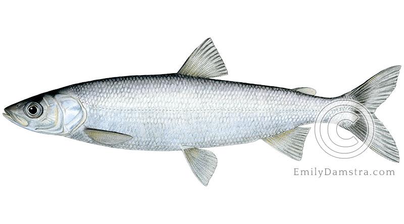 Lake herring Cisco Coregonus artedi illustration