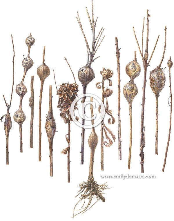 gouache painting of Goldenrod stem galls © Emily S. Damstra