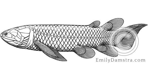 Holoptychius jarviki illustration