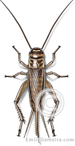 House cricket illustration Acheta domesticus female