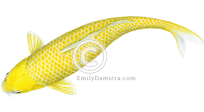 Hikari yellow koi illustration