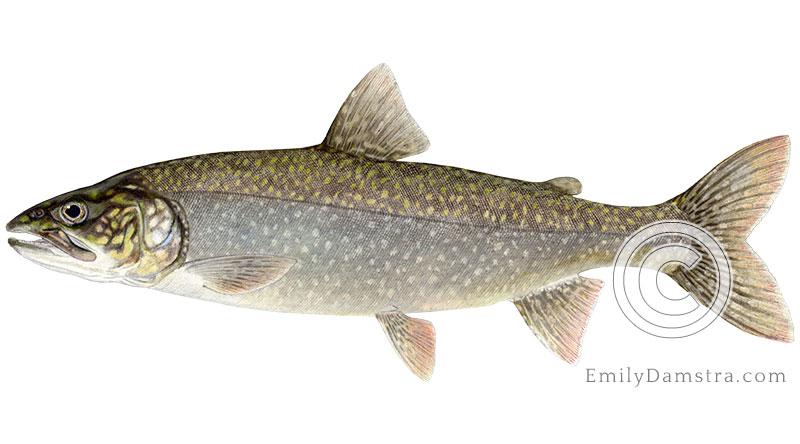Lake trout salvelinus namaycush illustration