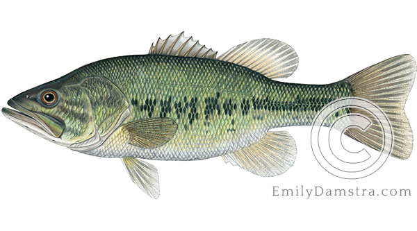largemouth bass Micropterus salmoides illustration
