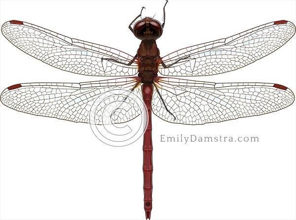 Meadowhawk dragonfly illustration Sympetrum