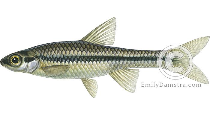 Blackchin shiner illustration Notropis heterodon