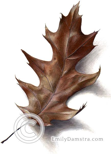 Autumn red oak leaf illustration