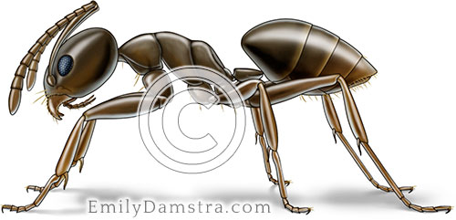 Odorous house ant or Coconut ant illustration Tapinoma sessile