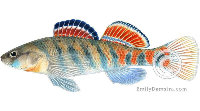 Orangethroat darter illustration Etheostoma spectabile