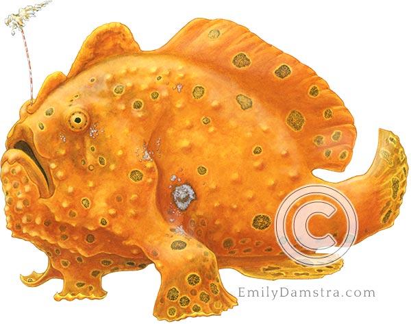 painted frogfish Antennarius pictus illustration