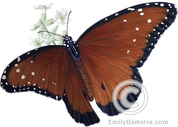 Illustration of Queen butterfly on Bee bush Danaus gilippus on Aloysia gratissima