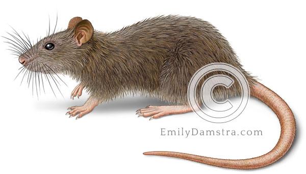 Norway rat or Brown rat Rattus norvegicus