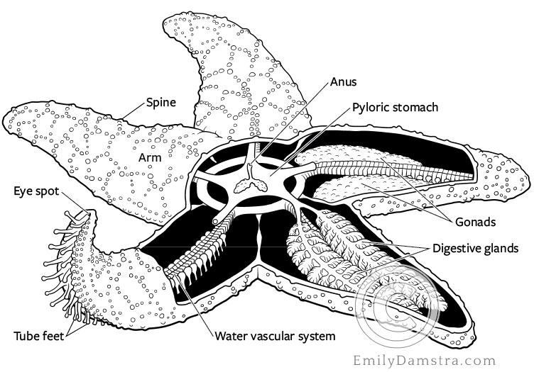 Illustration of the anatomy of a sea star