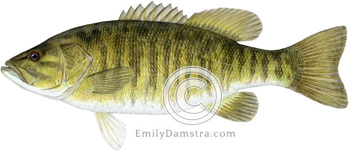 smallmouth bass illustration micropterus dolomieu